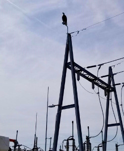 Prevent Osprey nesting on power line transmssion towers